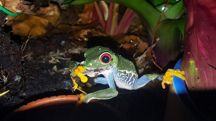 Red Eyed Tree Frog eating a roach
