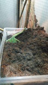 Chameleon digging